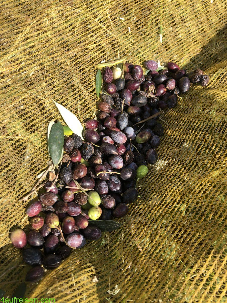 Olivenernte.